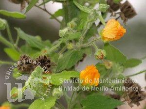 Ficha de abutilon x hybridum gu a de plantas ornamentales for Plantas ornamentales wikipedia