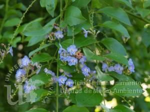 Ficha de duranta erecta gu a de plantas ornamentales for Plantas ornamentales wikipedia